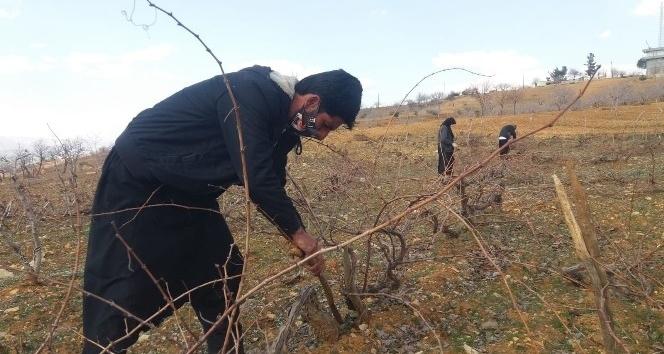 Kahramanmaraş'ta çiftçilerin bağ budama telaşı başladı