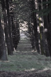 Established Himalayan Cedars.