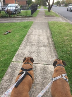 Roxy and Lucky taking me out for a walk