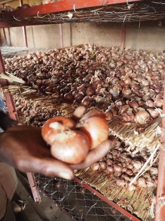 Oignons stockés en voûtes nubiennes