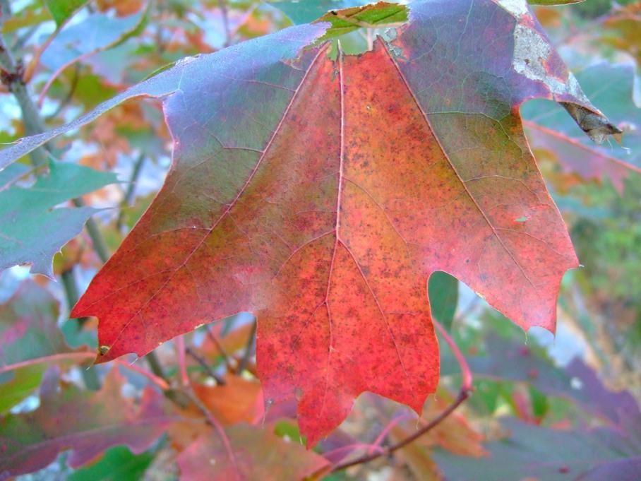 red-leafshrunk.jpg