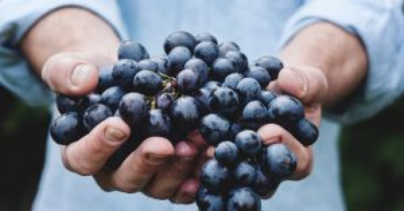 red-grapes-wine-making-hands-vineyard-new-zealand-wine-yesmore-agency