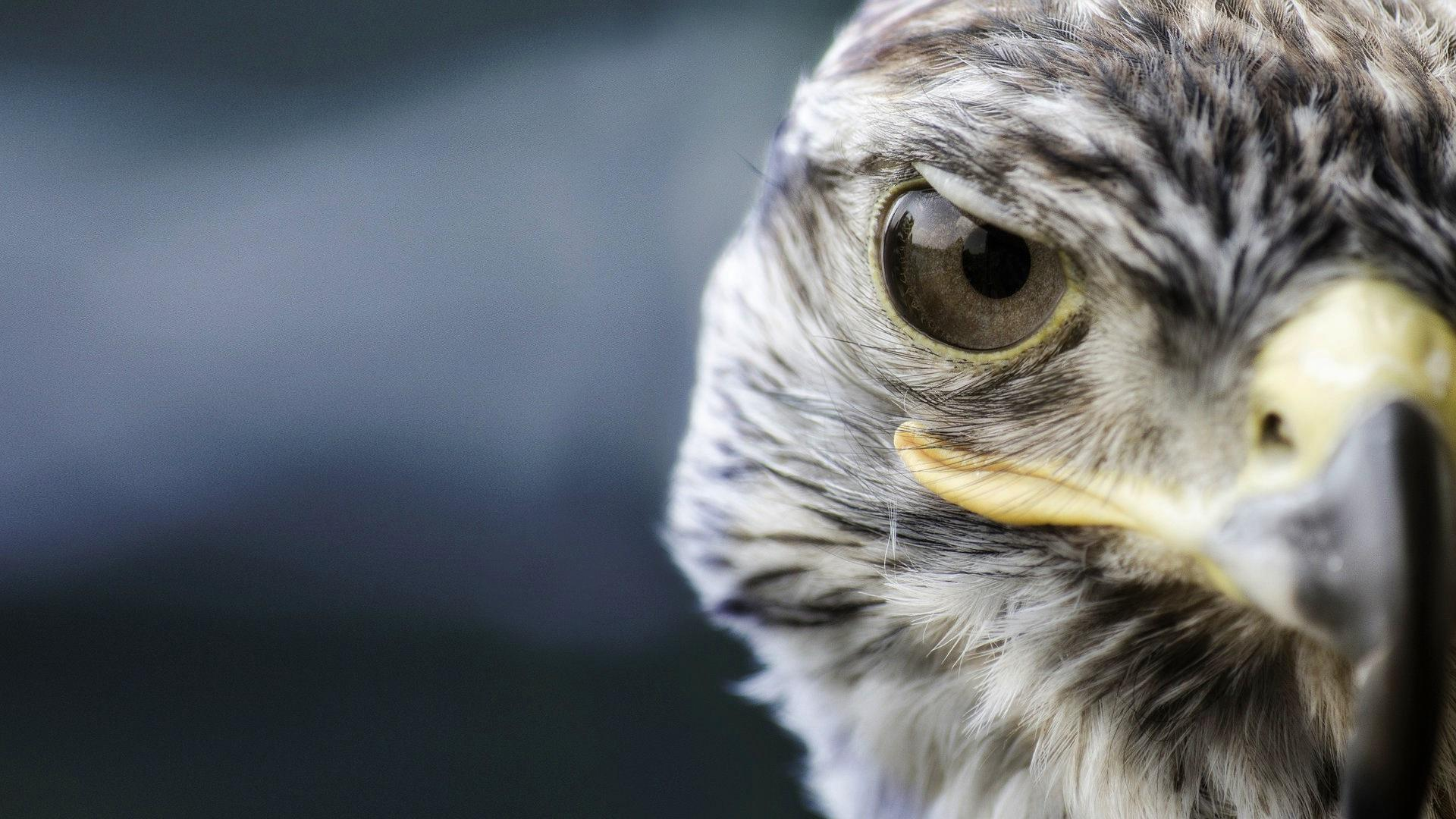 Wallpaper Hd Animals Wallpaper Pack Falcon Wallpapers High Quality Download Free