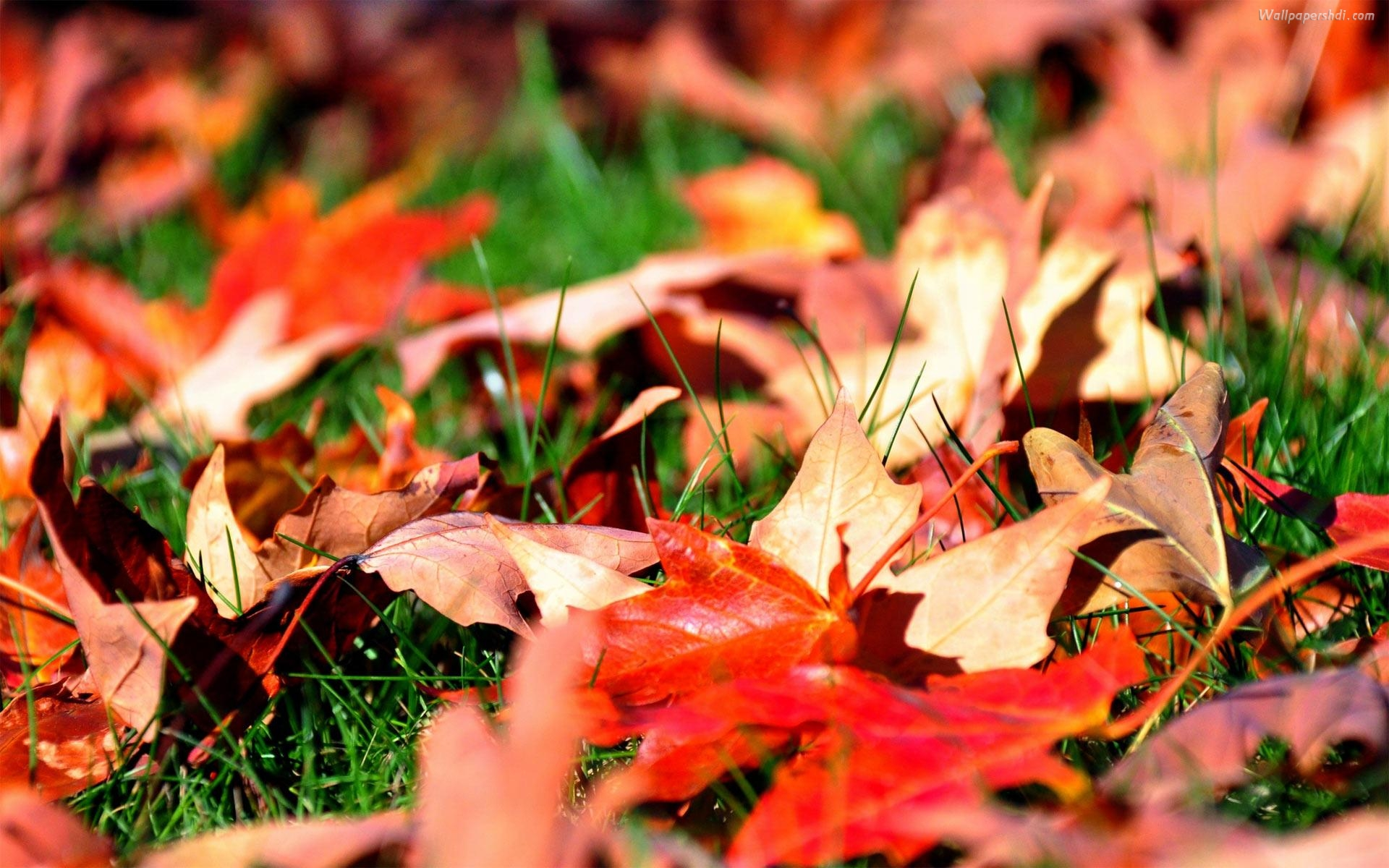 Fall Leaves Hd Wallpapers 1080p Autumn Leaves Wallpapers High Quality Download Free
