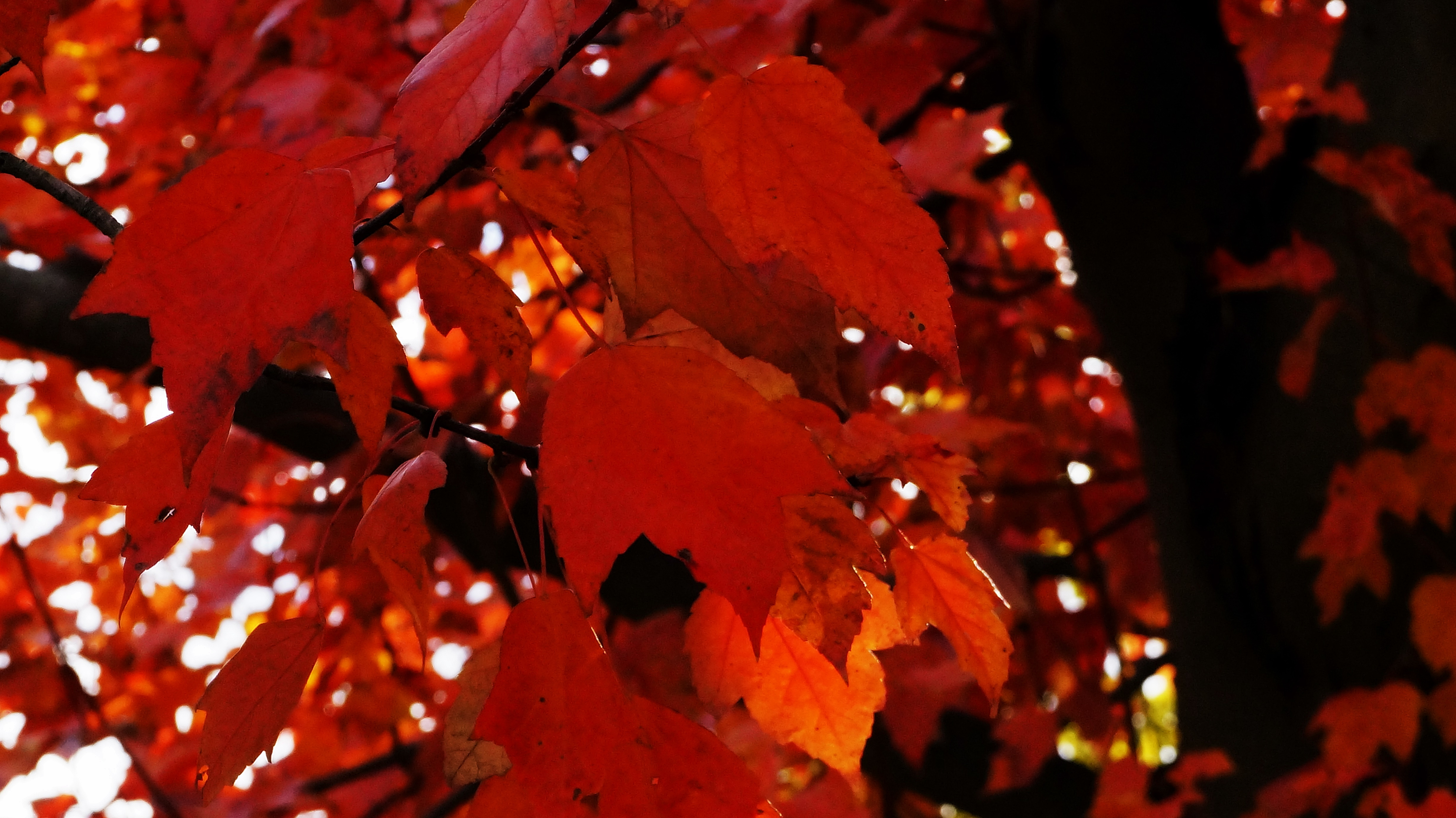 Fall Leaves Wallpaper For Ipad Red Leaves Tree Wallpapers High Quality Download Free