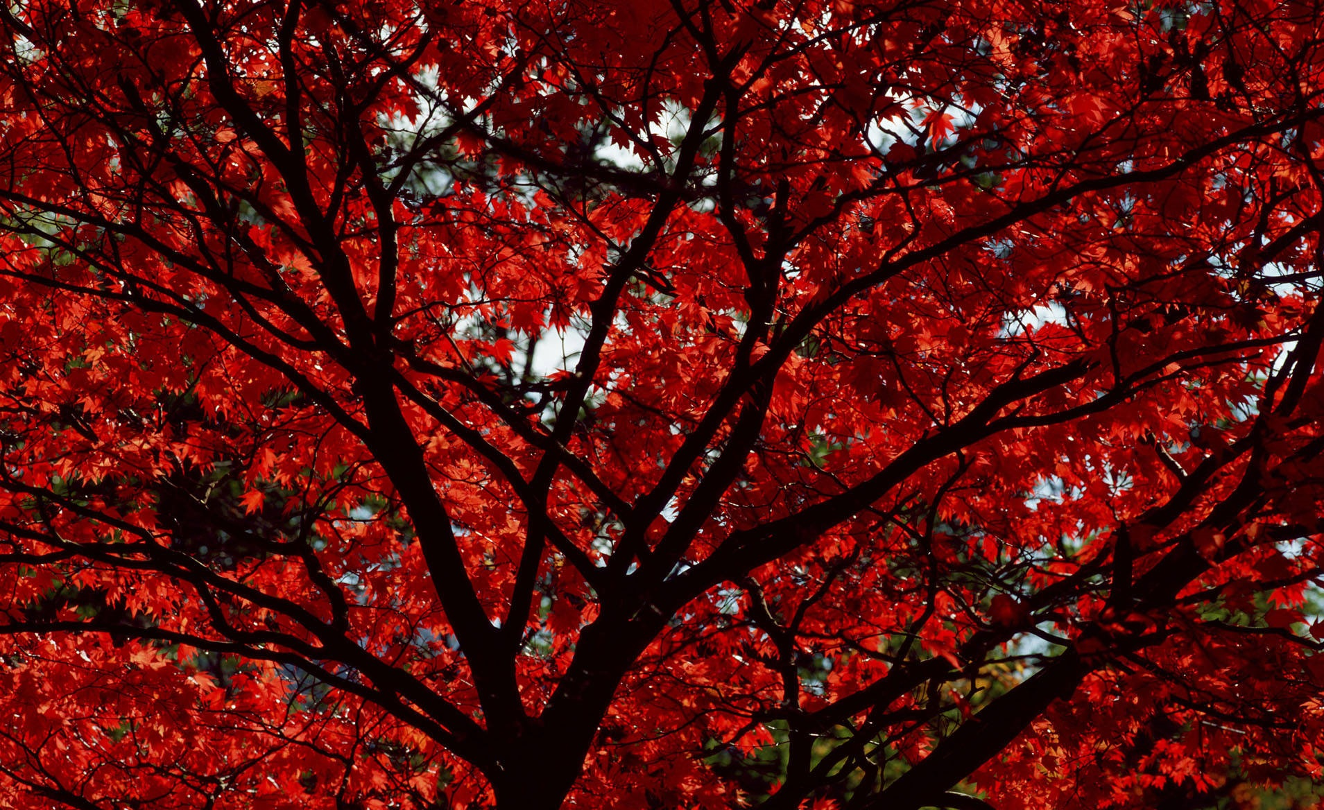 Red Leaves Tree Wallpapers High Quality  Download Free
