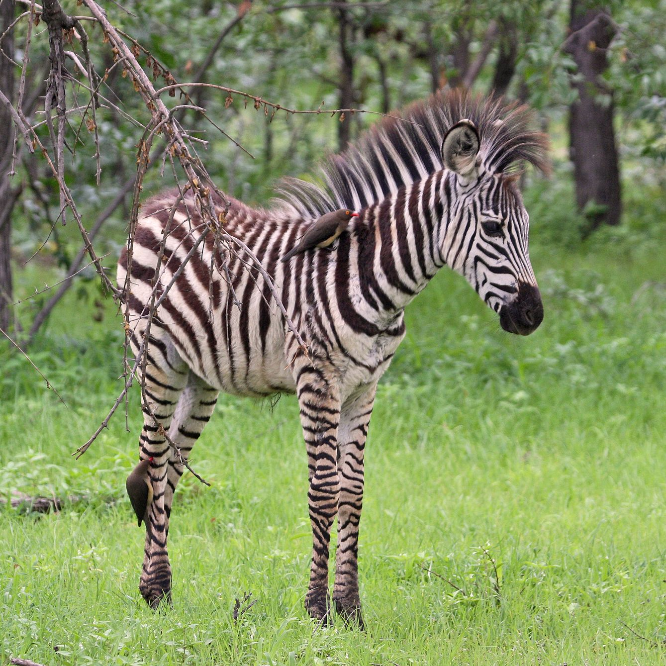 Cute Babies Hd Wallpapers For Mobile Free Download Zebra Wallpapers High Quality Download Free