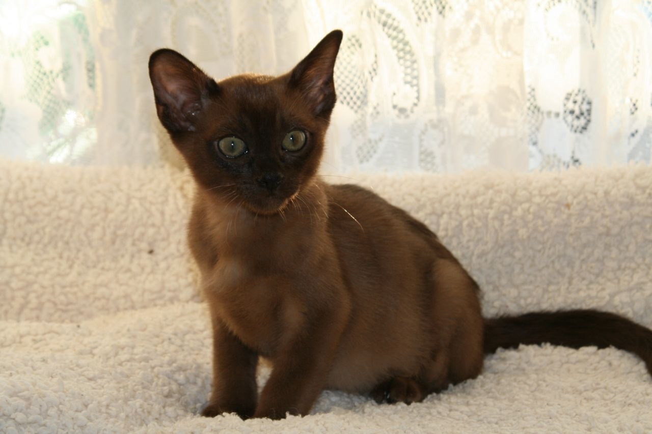 Cute Siamese Kittens Wallpaper Burmese Cat Wallpapers High Quality Download Free