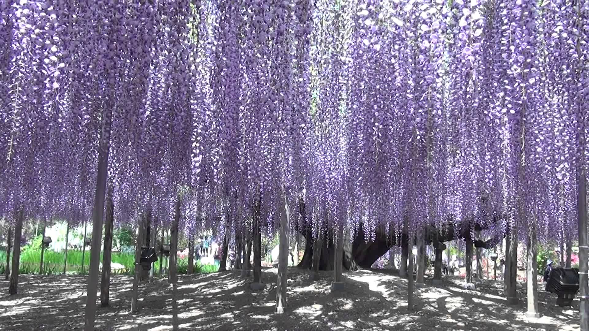 Wisteria Falls Wallpaper Huge Wisteria In Japan Wallpapers High Quality Download Free
