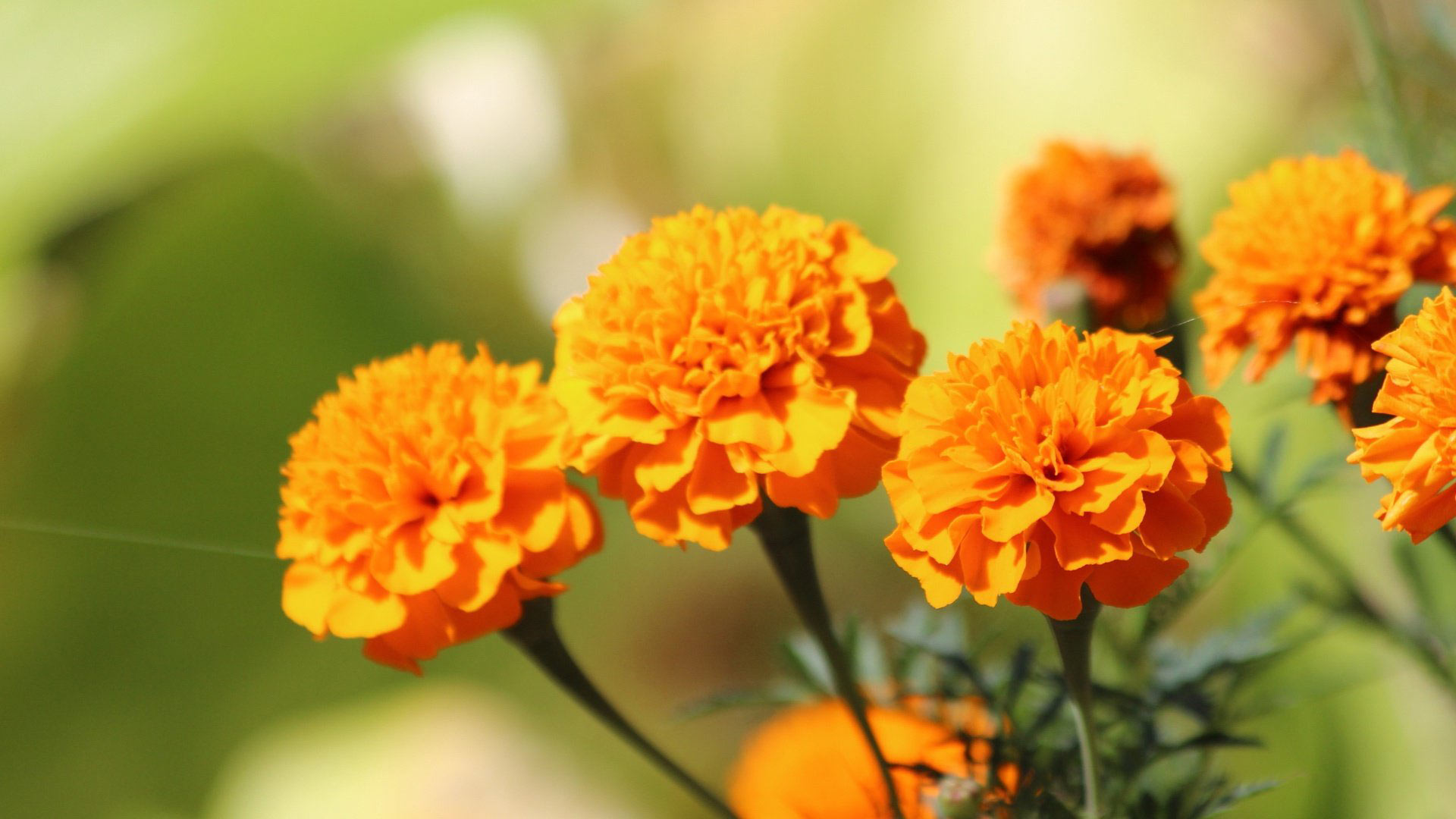 Spring Anime Wallpaper Marigold Wallpapers High Quality Download Free