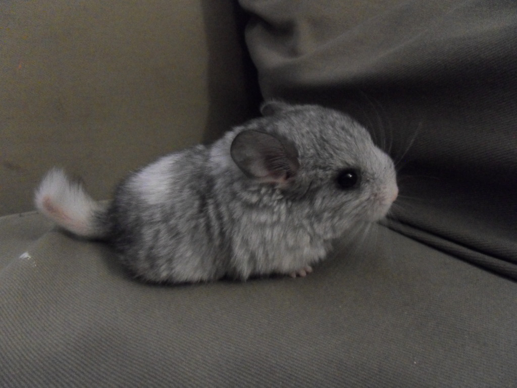 Hq Cute Baby Wallpapers Chinchilla Wallpapers High Quality Download Free
