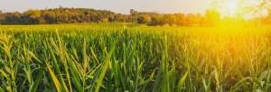 plantaçao-de-milho