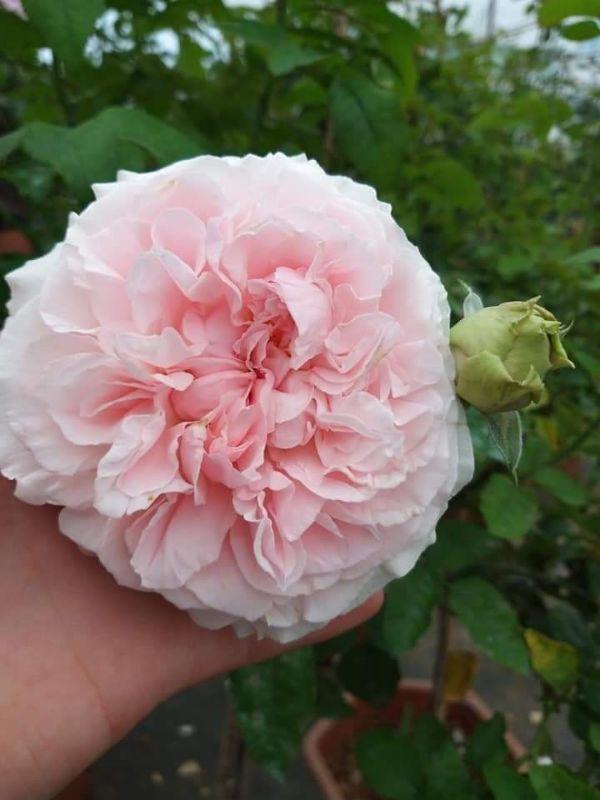 Miranda rose