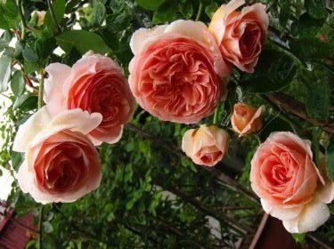 hoa hồng leo abraham (2)