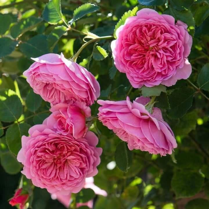 hoa hồng leo kent
