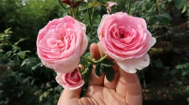hoa hồng leo mon