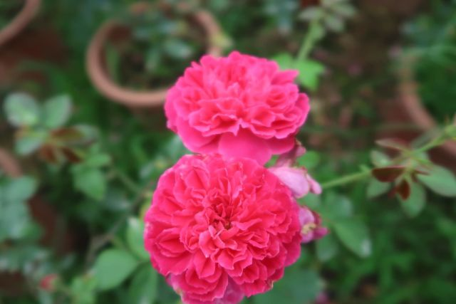hoa hồng tường vy