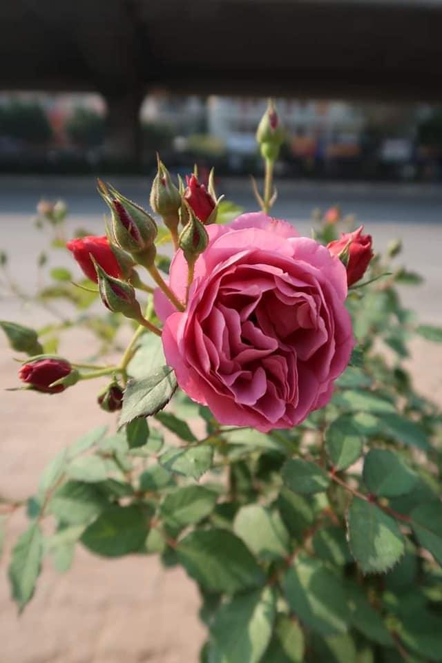 Hồng Aoi rose
