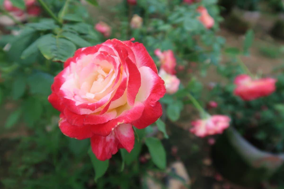 hoa hồng Double Delight.jpg2