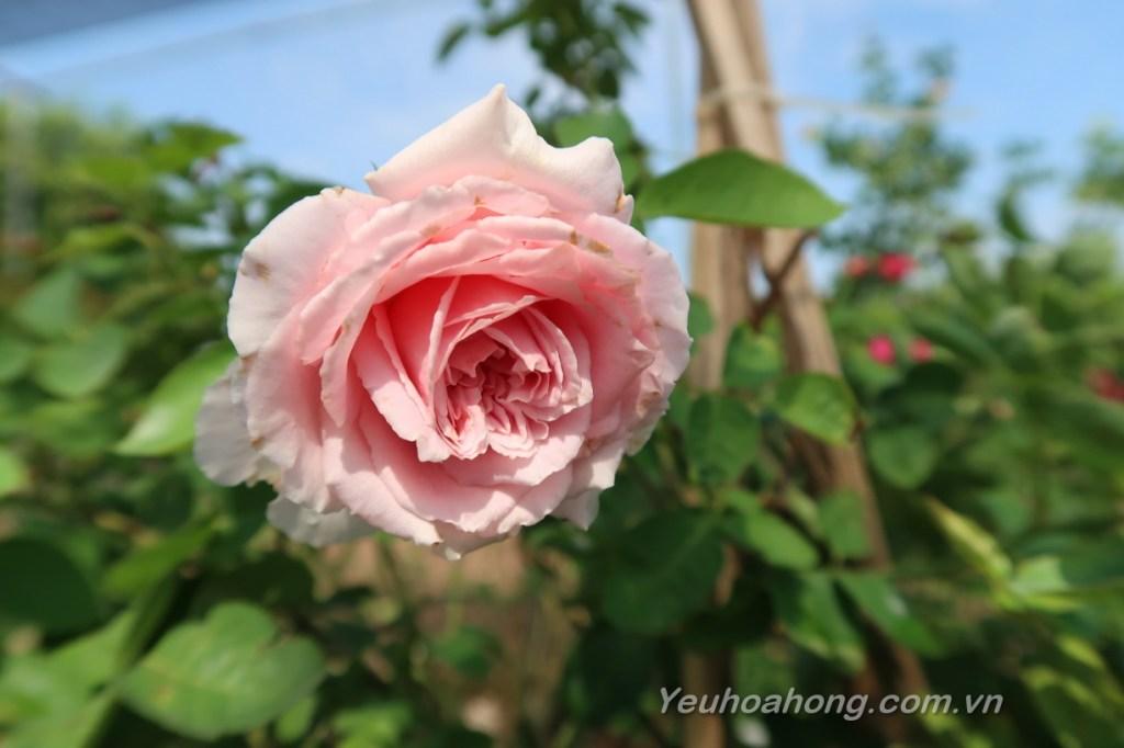hồng lep Bienvenue
