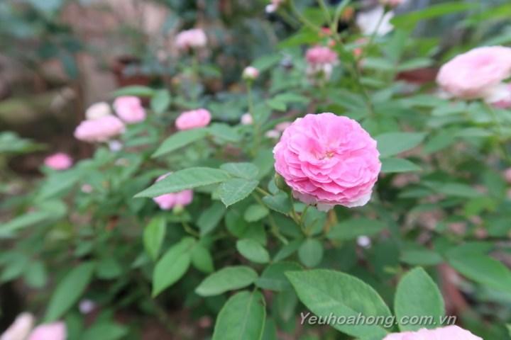 Aunt Margy's rose