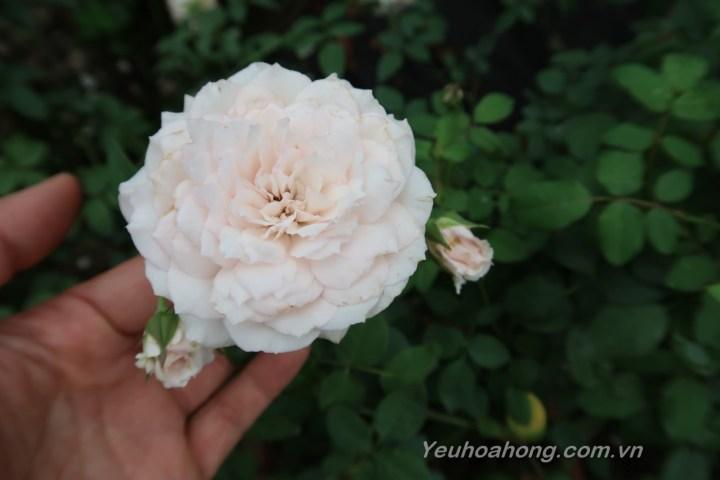 Misaki rose