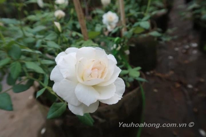 Hoa hồng Nhật Shizuku