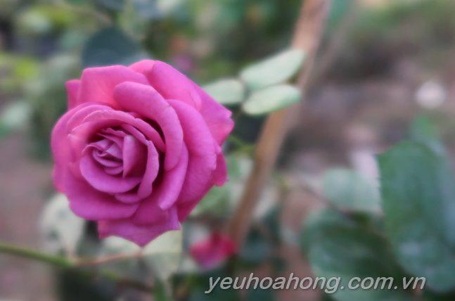 Hoa hồng Tezza tím