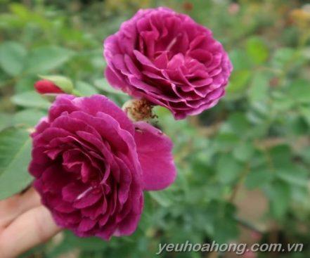 Chùm hoa Minerva