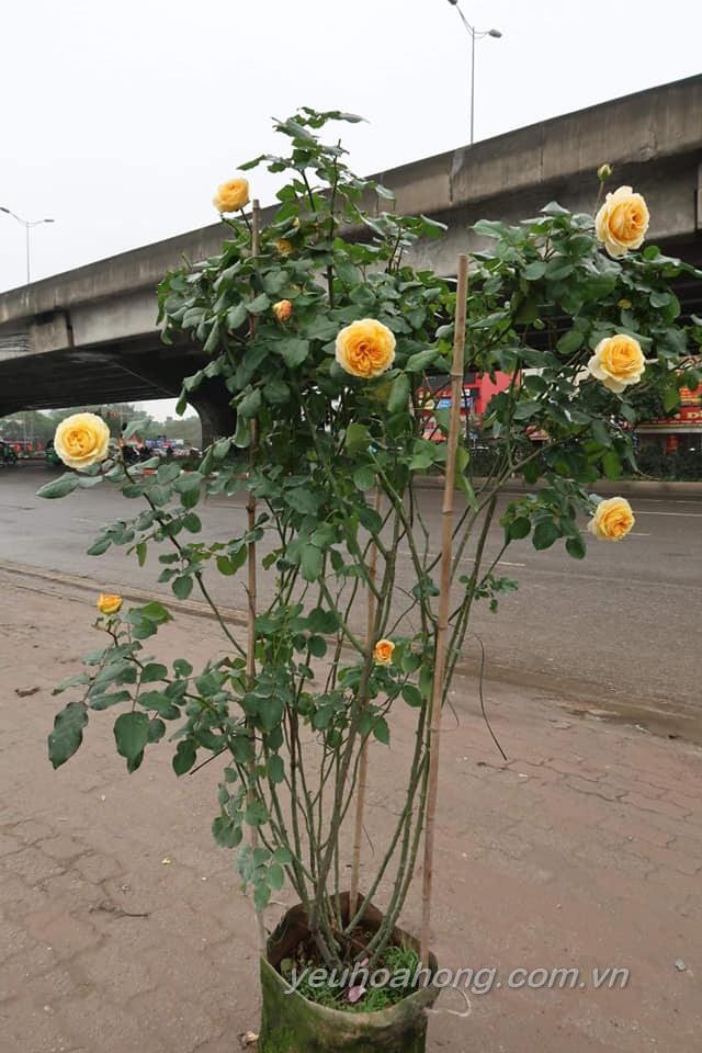 Betrice rose