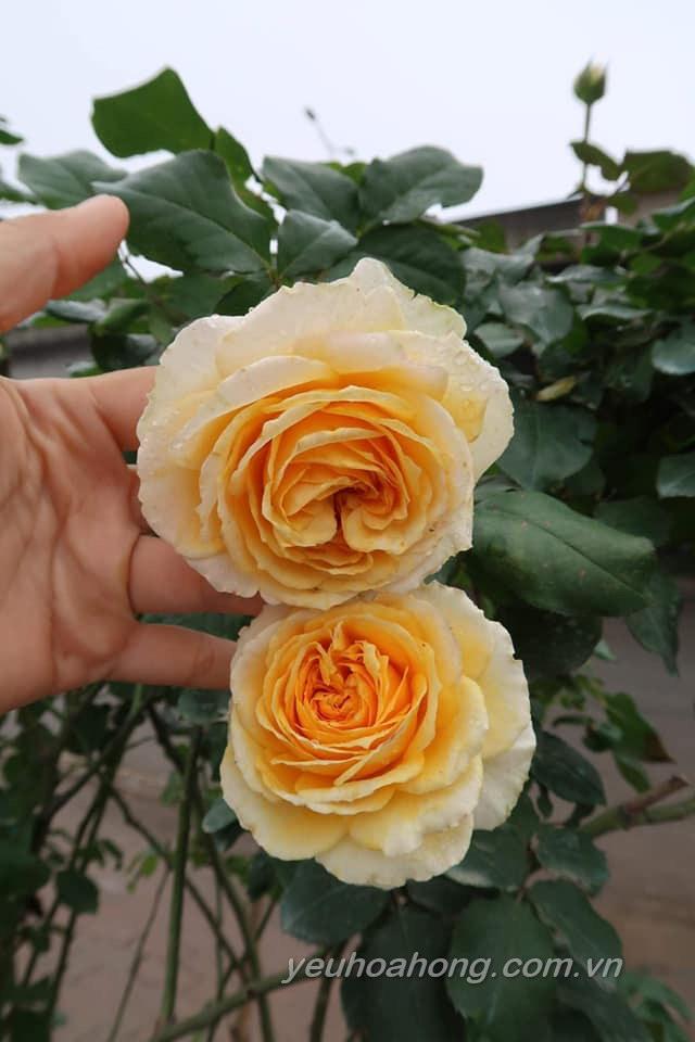 Hoa Betrice rose