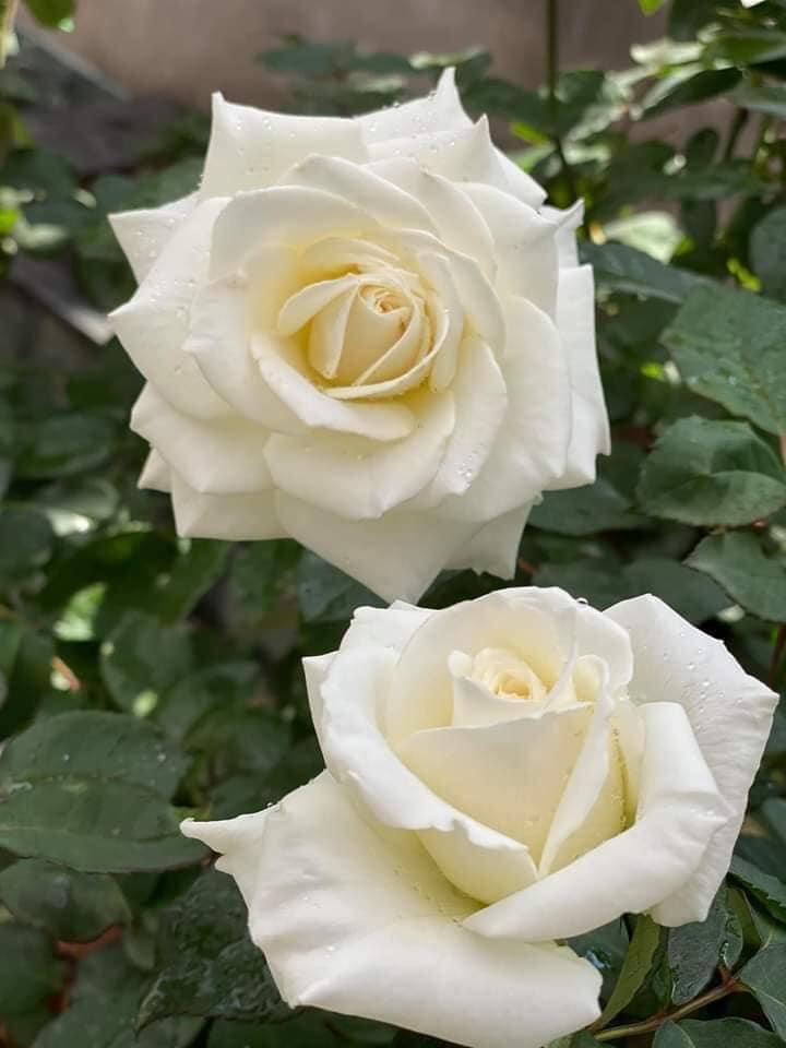Jeanne Moreau rose