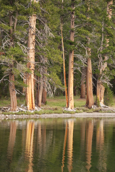 Lodgepole Pine Reflection in Dog Lake