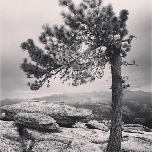 Yosemite_Pine_Clark_DeGrazio