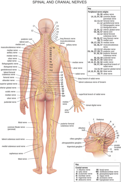 small resolution of source warriorpages nervous system diagram alt