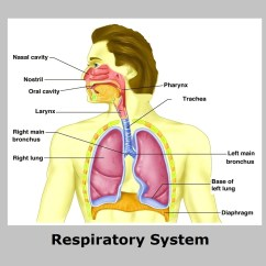 Label The Following Diagram Of Respiratory System Sensotec Pressure Transducer Wiring Source Biology Diagrams Alt