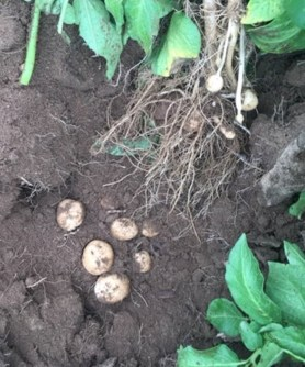 Potatoes dug in field