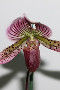 Paphiopedilum Hsinying Web 'Super Wings'