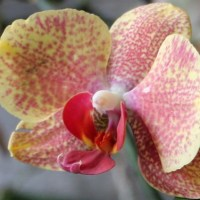 Phalaenopsis Hybrid (Big red spots on yellow)