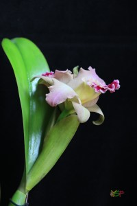 Cattleya Hybrid (Red and Salmon)