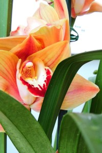 Cymbidium Mighty Remus 'Vintage'