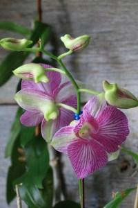 Dendrobium Phalaenopsis Stripe Thailand