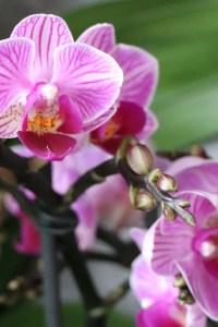 Mini Phalaenopsis Hybrid (Pink line)