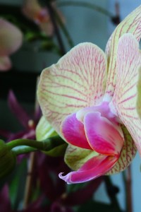 Phalaenopsis Hybrid (Purple line on yellow)