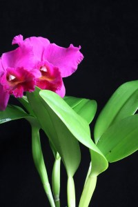 Cattleya Penang 'Black Caesar' AM/AOS