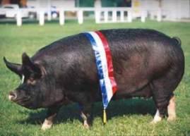 Ham on the hoof