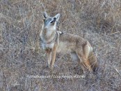 coyote stops and sniffs with nose high in the air