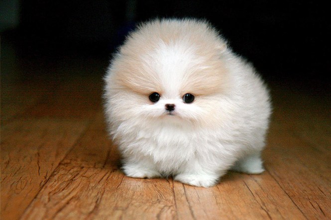 Puppy That Looks Like A Teddy Bear Best Bear - 28 adorable dogs that actually look like tiny teddy bears