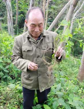 Ông Phượng Quầy Phú giới thiệu một cây thuốc trị bệnh gan