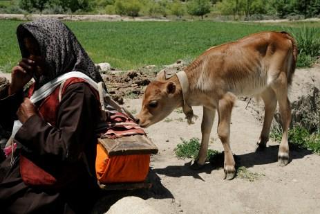 シェイ・ブンスコルで見かけた子牛